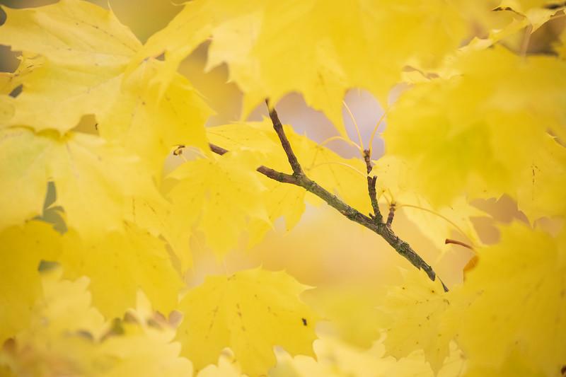 Redmond, MSFT - Yellow leaves 3