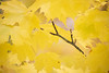 Redmond, MSFT - Yellow leaves 3