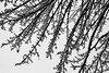 Redmond, Microsoft - Close up view of snowy tree branches