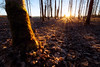 Redmond, Marymoor - Sunrise in forest with many trees and forest floor in wintertime