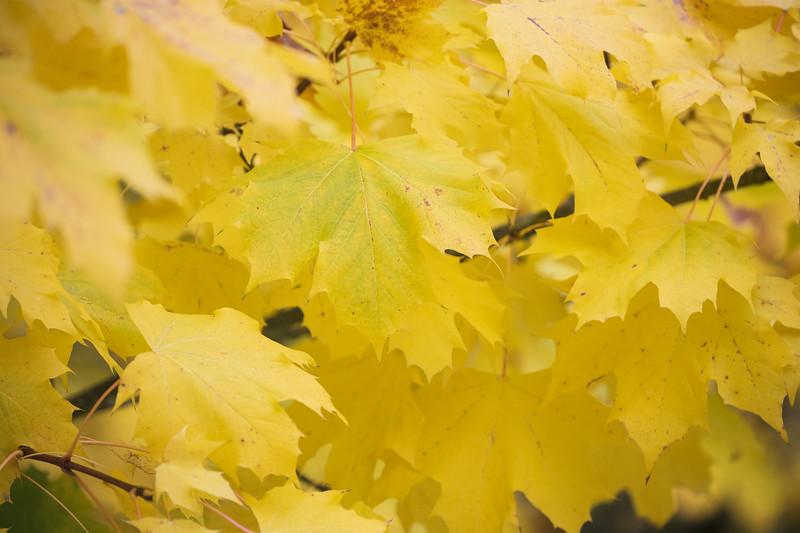 Redmond, MSFT - Yellow leaves 5