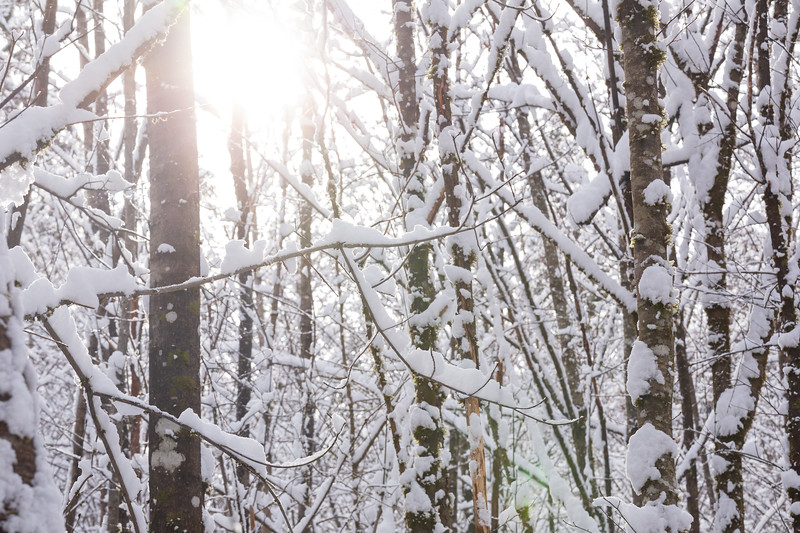 Woodinville, Sun rising behind trees covered in snow