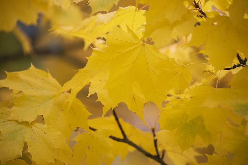 Redmond, MSFT - Yellow leaves 1