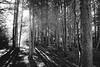 Seattle, Kubota Garden - Sunlight filtering through a forest of tall trees, black and white