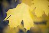 Redmond, MSFT - Yellow leaves 4