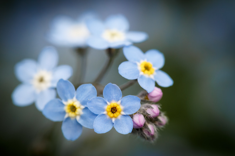Bothell, Blyth - Close up of blue forget me nots