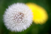 Bothell, Blyth - Close up of a dandelion