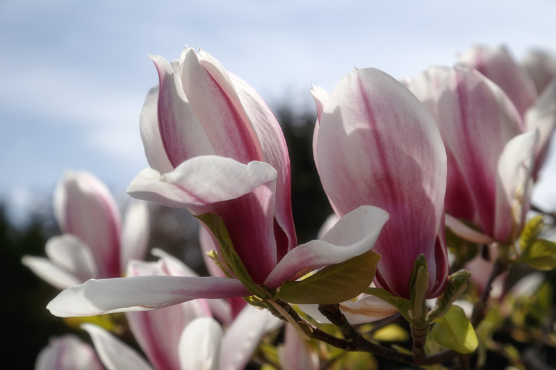 Redmond, Overlake Transit Center - Blooming pink and white magnolia trees