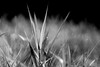 Bothell, Bothell Landing - Close up of a blade of grass in black and white with very dark blacks