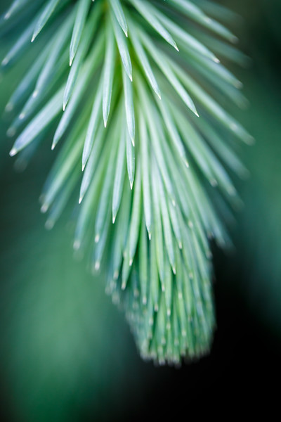 Bothell, Blyth - Close up of needles on a pine