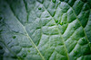 Bothell, Blyth - Close up of a deciduous leaf
