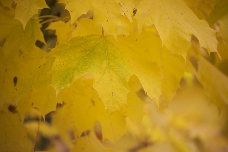 Redmond, MSFT - Yellow leaves 2