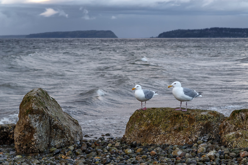 Mukilteo, Beach - Two seagulls sitting on a rock on the shore