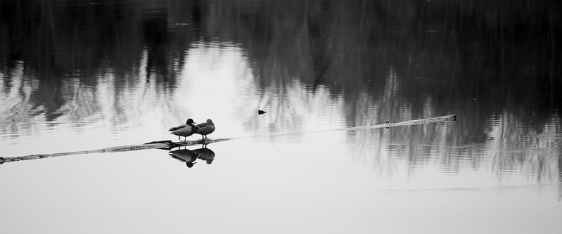 Kirkland, Juanita Bay - Two ducks sitting on a log in a pond with reflection
