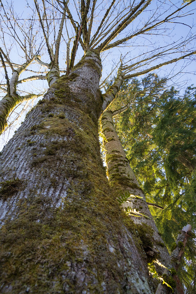 Mill Creek, Willis Tucker - View up a large tree just after sunrise