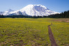 Rainier, Grand Park - Field of yellow flowers with trail cresting some small rises