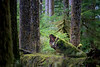 Rainier, Carbon River - Old fallen tree with mushrooms surrounded by tall trees