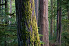 Rainier, Carbon River - Large leaning tree with others in the background