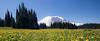 Rainier, Grand Park - Field of yellow flowers, ground level view