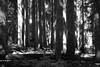 Rainier, Grand Park - Light and shadows in trees near Lake Eleanor, black and white