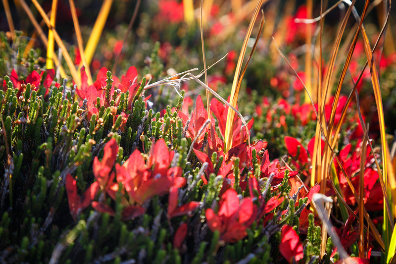 Rainier, Sunrise - Red and yellow fall colors peeking above a sea of green
