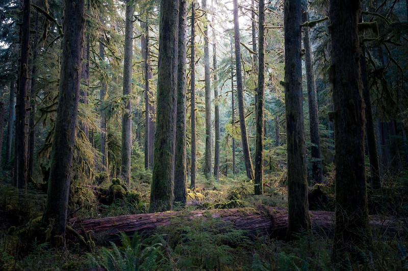 Rainier, Carbon River - Bright old growth forest meadow surrounded by dark trees