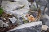 Rainier, Sunrise - Chipmunk peeking out on the top of a rock