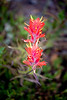 Rainier, Sunrise - Close up of red Indian Paintbrush