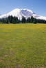 Rainier, Grand Park - Field of yellow flowers and the mountain