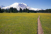 Rainier, Grand Park - Field of yellow flowers with straight trail