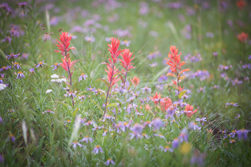 Rainier, Sunrise - Red Indian Paintbrush flowers surrounded by a sea of purple