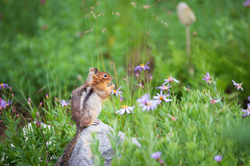 Rainier, Sunrise - Chipmunk on a rock surrounded by flowers