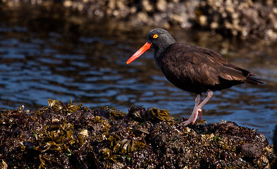 Black oyster-catcher