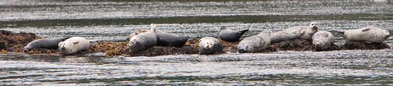 Harbor (or Harbour) Seals