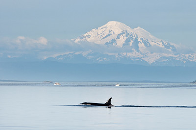 Orca with Mount Baker in background