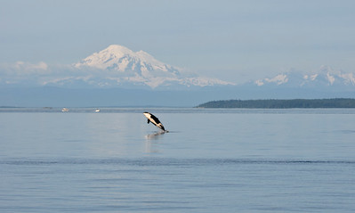 Orca calf breaching with Mount Baker in background