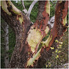 Peeling Bark on Madrone Tree