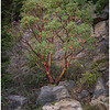 Madrone Tree on the Rock