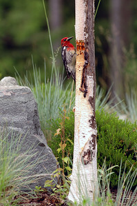 Red breasted sapsucker on paperbark birch V