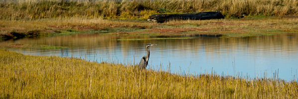 Great Blue Heron in Fisherman Bay
