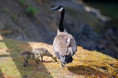 Canadian goose with goslings II