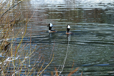 Hooded Mergansers III  Muir pond