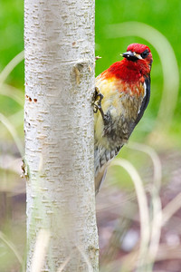 Red breasted sapsucker on birch I
