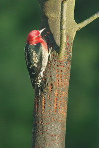 Red breasted sapsucker on Japanese maple