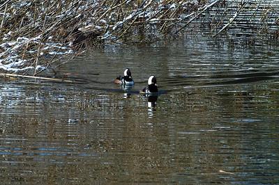 Hooded Mergansers I Muir pond