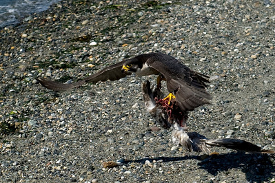 Peregrine Falcon with Catch