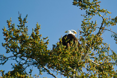 Bald eagle pair near Chadwick Hill. Still need that L-O-N-G-E-R lens!