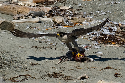 Peregrine Falcon Takes Flight