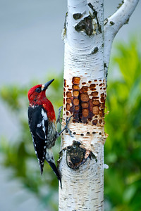 Red breasted sapsucker on birch II