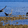 Seabeck feeding frenzy